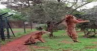 Tiger Jumping To Catch Meat In Slow Motion