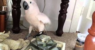 Angry Cockatoo Throws A Serious Shit Fit Before Going To The Vet
