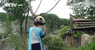 Panda Asks For Hug To Get Down From Tree!