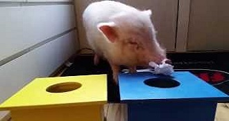 This Pig Is On A Mission To Save The Environment