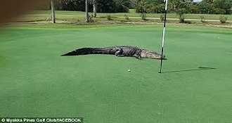 A Huge Gator Hanging Out On A Golf Course