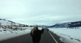 Bison Rams Car At Yellowstone National Park