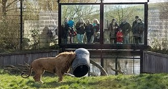 A Greedy Lion Fail In Zoo