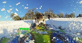Pug Snowboarding Is The Personification Of The Pug Life