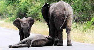 Elephants Help A Baby Elephant Who's Just Too Tired To Walk