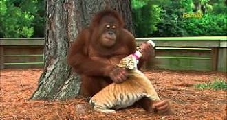 Orangutans Are Great Moms To Tiger Cubs