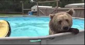Bear Cools Off In The Pool