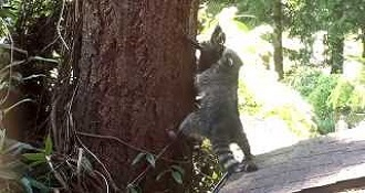 Mother Raccoon Teaches Baby How To Climb A Tree