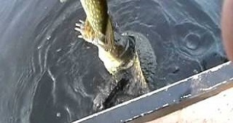 Turtle Won't Give Up the Pike