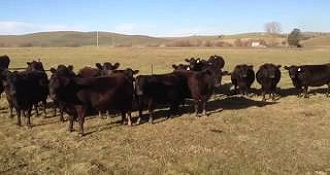 Girls Summon Cows By Singing