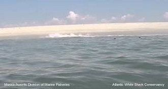 Seal Escapes White Shark
