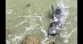 Dolphin Fails At Escaping From Japanese Hunters