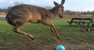 Fawn Plays With A Ball