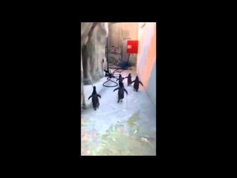 Penguins Try To Escape