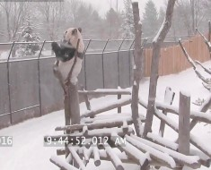 Toronto Zoo Giant Panda Climbing In The Snow!