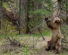 Bears Dancing To 'Jungle Boogie' (Planet Earth II)