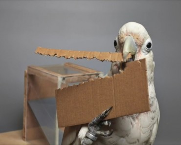 Smart Cockatoo Makes Tools To Get Food