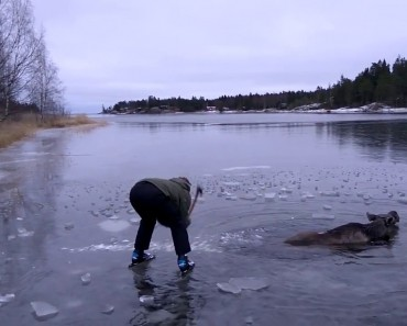 A Moose Getting Rescued From The Ice