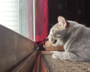 Cat Mumbles To Himself While Hunting Birds