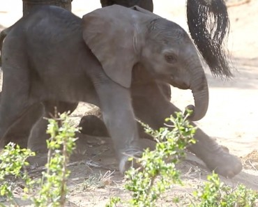 Hilarious Baby Elephant's First Steps
