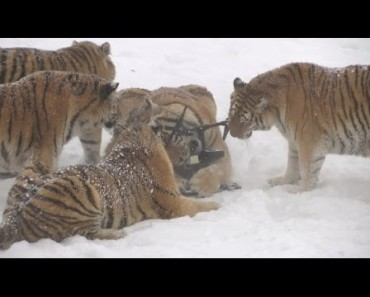 Siberian Tigers Hunt Electronic Bird Of Prey