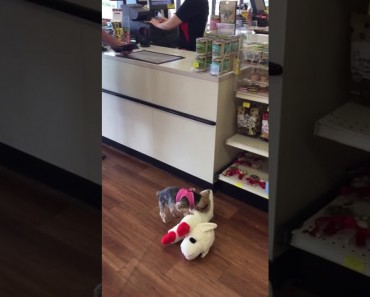 Little Dog Gets Really Excited About His New Big Stuffed Toy